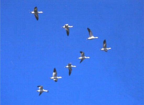 Пример гусей