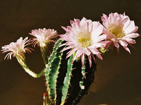 Расцвел кактус